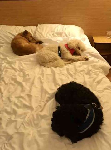 Juli sharing the bed with Poppy and Hendrix, on their journey from Cheshire to their new home in Alicante, Spain.